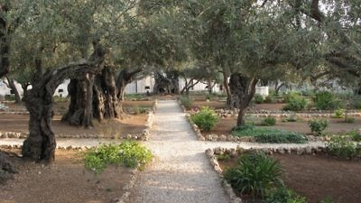 Click photo to download. Caption: In Jerusalem, trees producing the olives of Gethsemane are set in the small grove pictured here. The grove is revered by Christians because of its connection to Jesus. Credit: Juandev via Wikimedia Commons.