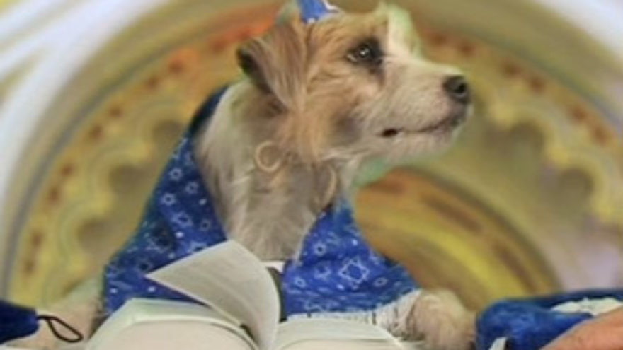 """Click photo to download. Caption: """"Elvis"""" Best performs his """"arf-tara"""" at a bark mitzvah in 2008. Credit: Molly Kravitz."""