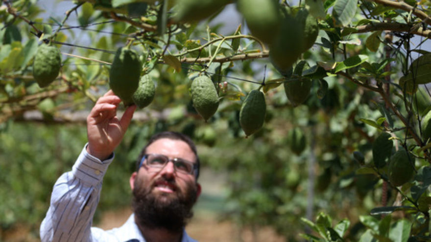 Click photo to download. Caption: In July 2013, Jewish farmer Shneur Naparstek inspects his crop of etrog fruits in an orchard in the village of Kfar Chabad in central Israel. Credit: Nati Shohat/Flash90.