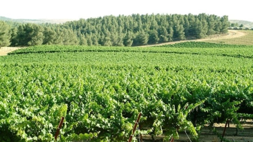A forest-based, but also desert-based, vineyard of Israel's Yatir Winery. Credit: Yatir Winery.