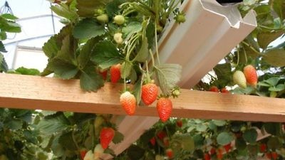 Click photo to download. Caption: Strawberries are planted in a cool greenhouse and hung on plastic trellises at the Arava R&D Center. Credit: Barry A. Kaplan.