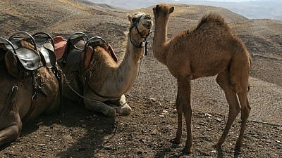Camels in Israel. (Wikimedia Commons)