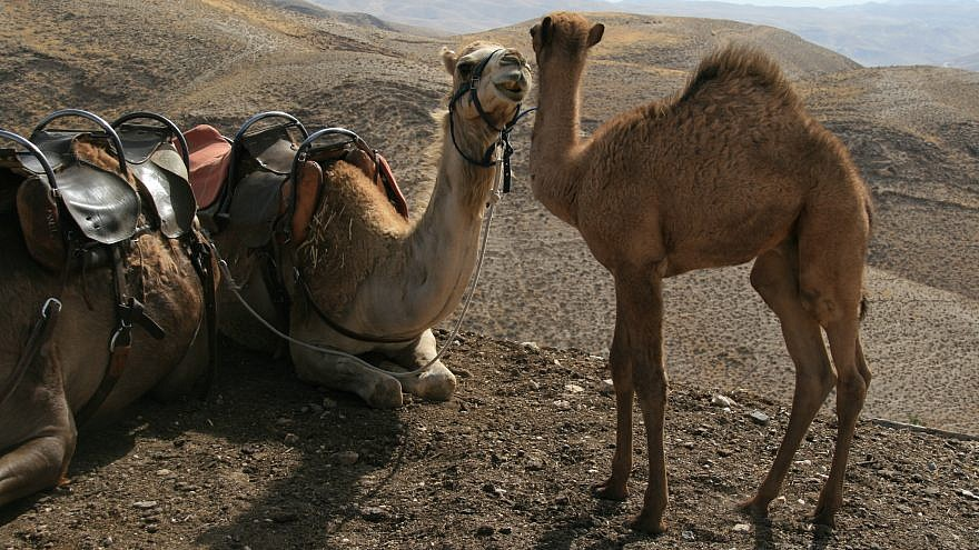 Camels in Israel. Credit: Wikimedia Commons.