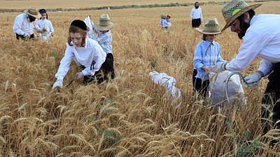 Haredi Jews follow an ancient biblical command and harvest wheat with a hand sickle in a field near the central Israeli town of Modi'in. They will store the wheat for almost a year and then use it to grind flour to make unleavened bread for the weeklong Passover holiday. May 24, 2009. Photo by Nati Shohat/Flash90.