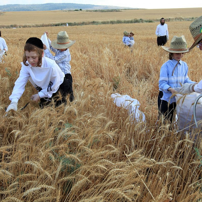 Haredi Jews follow an ancient biblical command and harvest wheat with a hand sickle in a field near the central Israeli town of Modi'in. They will store the wheat for almost a year and then use it to grind flour to make unleavened bread for the weeklong Passover holiday. May 24, 2009. Photo by Nati Shohat/Flash90