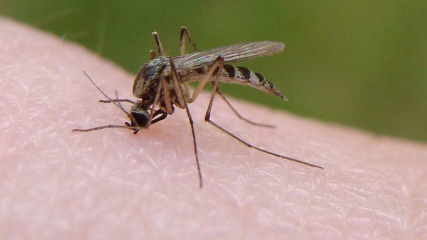 A mosquito biting its victim. Credit: Wikimedia Commons.