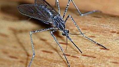 A mosquito, carrier of the West Nile virus. Source: Wikipedia.