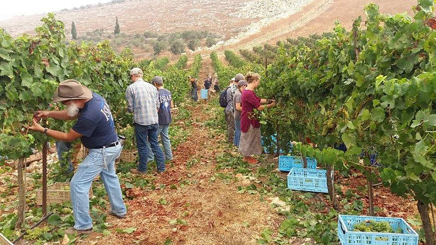 Tura winery grape harvest. Source: Winery Facebook page.