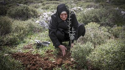 A Palestinian woman plants olive trees near the Israeli settlement of Kfar Tapuach in Judea and Samaria. March 22, 2017. Photo by Nasser Ishtayeh/Flash90.