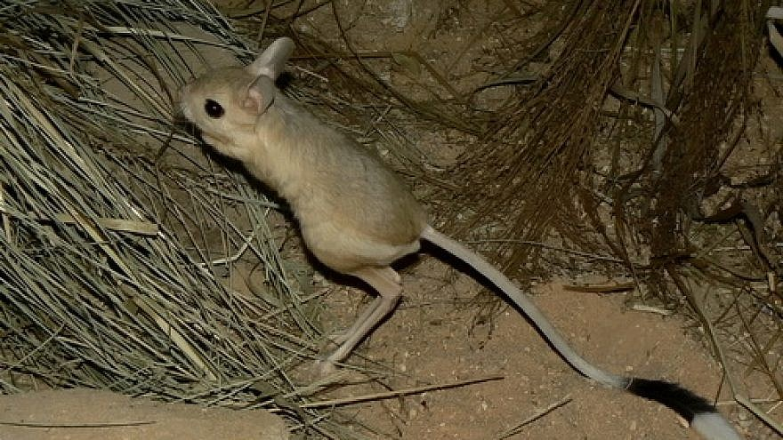 A Greater Egyptian jerboa. Credit: Wikimedia Commons.