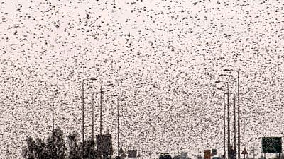Thousands of grasshoppers seen flying over the Ramat Negev on March 5, 2013. Photo by Dudu Greenspan/Flash90.