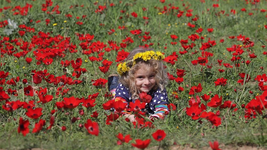 Enjoying the bloom of wild red anemones in southern Israel on Feb. 3, 2018. Photo by Nati Shohat/Flash90.