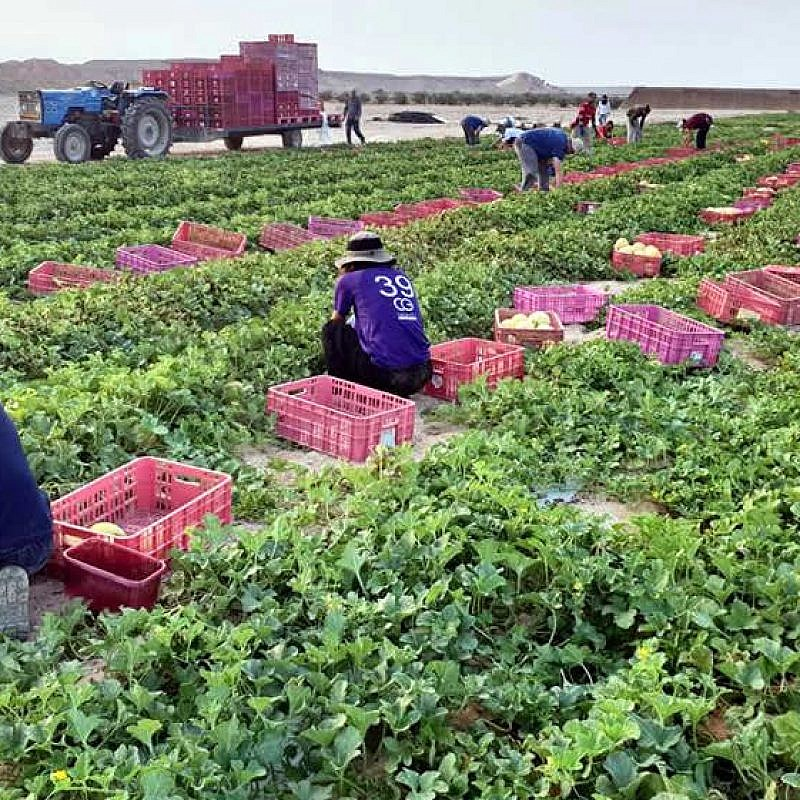 Volunteers busy helping farmers in southern Israel. Credit: HaShomer HaHadash.