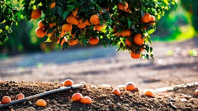 Clementine trees at a field in Moshav Nahalal in the Jezreel Valley, on March 26, 2019. Photo by Anat Hermony/Flash90