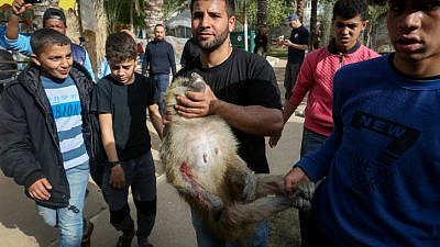 Zoo workers treat animals at a zoo in Rafah, in the southern Gaza Strip, on April 7, 2019, as they prepare to ship them to safe sanctuaries in Jordan and South Africa. Photo by Abed Rahim Khatib/Flash90.