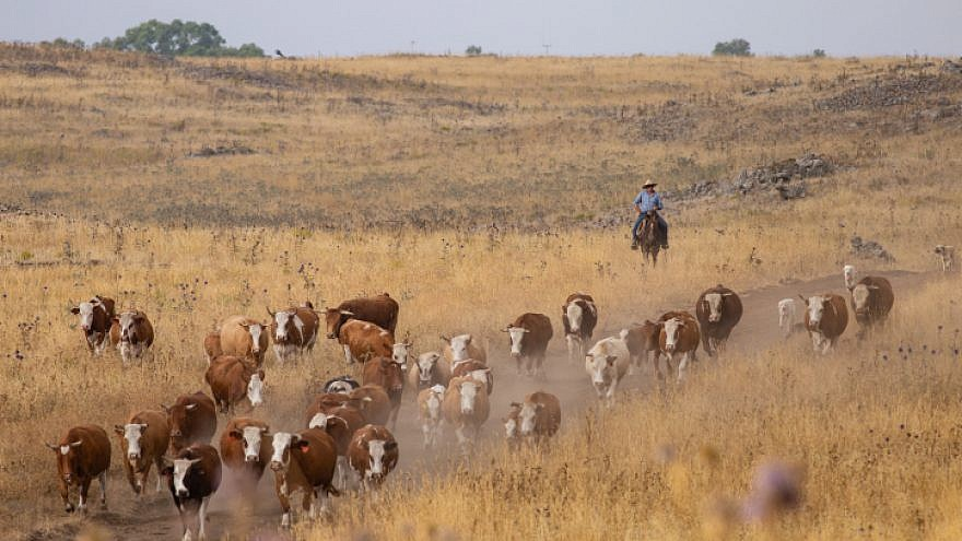 Israeli cowboys collect a herd of cattle to separate the bulls from the females, at their farms in Northern Israel. June 12, 2018. Photo by Maor Kinsbursky/Flash90.
