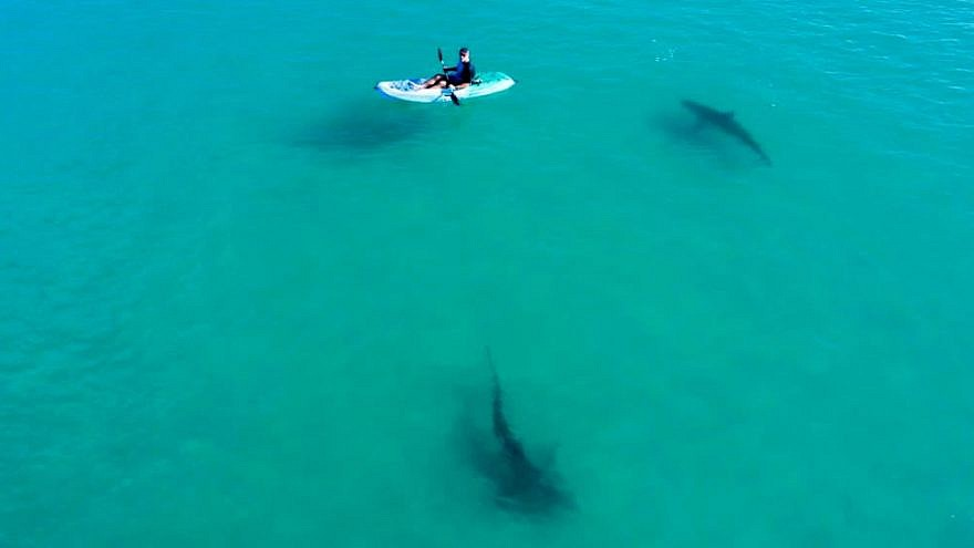 A researcher in a kayak studies sharks in the shallow waters near Hadera, Israel. Photo by Hagai Nativ/Morris Kahn Marine Research Station/University of Haifa.
