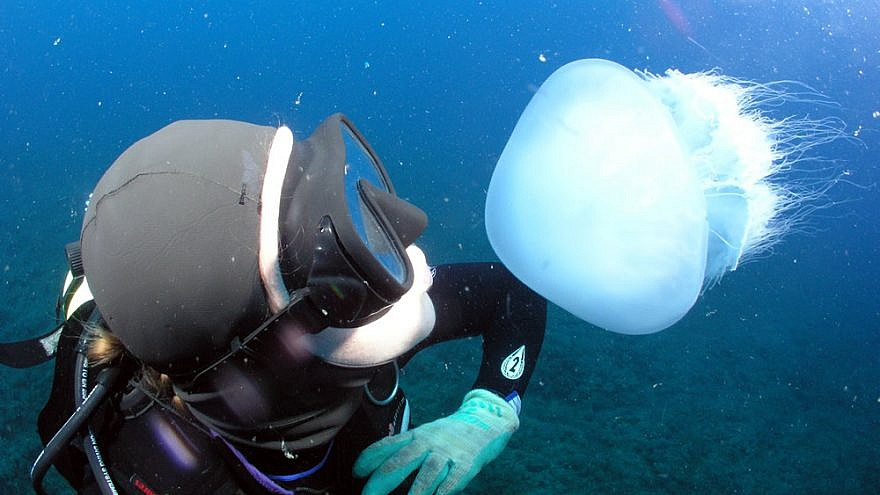 The impacts of jellyfish to the ecosystem off the coast of the Mediterranean Sea are numerous and not necessarily all negative, July 2019. Photo by Amir Yurman.