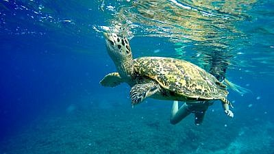 A sea turtle underwater. Credit: Flickr.