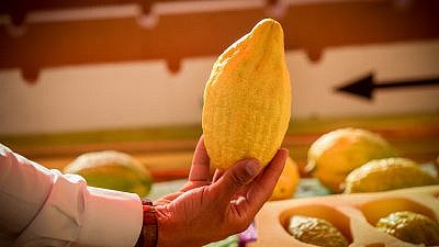 """The """"etrog"""" (citron), one of the """"Four Species"""" or """"Four Kinds,"""" on sale at a market in the northern Israeli city of Tzfat, ahead of the holiday of Sukkot, Oct. 10, 2019. Photo by David Cohen/Flash90."""