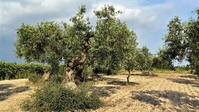 Olive tress. Credit: Pixabay.