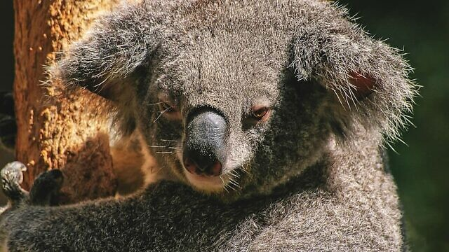 An Australian koala bear. Credit: Creative Commons Zero-CC0.