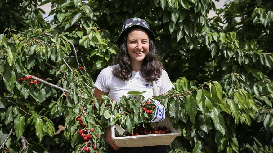 An Israeli student pick cherries in Kfar Etzion on May 17, 2020. Photo by Gershon Elinson/Flash90.