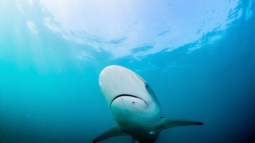 Outside of the sandbar and dusky sharks being tracked along Israel's shores, researchers are seeing fewer sharks in the greater region this year, including blue sharks, mako sharks and thresher sharks, August 2020. Photo by Hagai Nativ, University of Haifa's Morris Kahn Marine Research Station.
