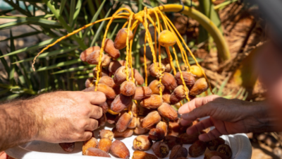Biblical-era dates that were planted and revived for the first time got picked at Israel's Arava Institute for Environmental Studies. Courtesy: Marcos Schonholz