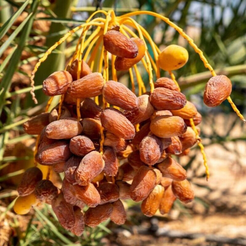 Dates growing on Hannah, a tree germinated from ancient seeds in Israel. Photo by Marcos Schonholz/Arava Institute.