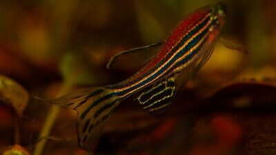 Experimenting on zebrafish is a stepping stone to understanding the human brain. Credit: Pixbay.