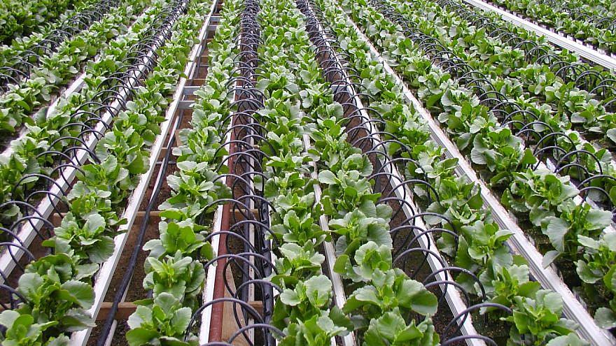 Israeli drip irrigation. Credit: Boris Shin via Wikimedia Commons.