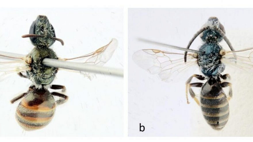 The newly discovered Lasioglossum dorchini bees—female on left, male on right. Photo by Alain Pauly/Belgian Journal of Entomology.