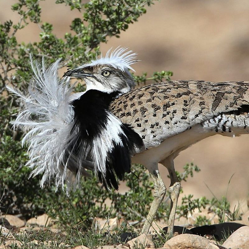 A houbara bustard bird in Israel. Photo by Dr. Haim Shohat/Flash90.