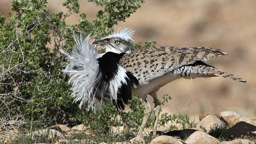 A houbara bustard bird in Israel. Photo by Dr. Haim Shohat/Flash90.