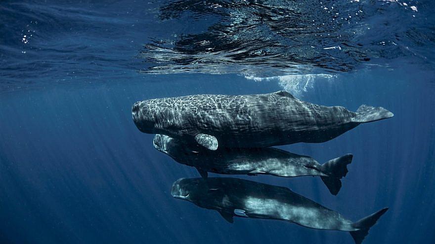 Three sperm whale calves. Credit: Amanda Cotton.