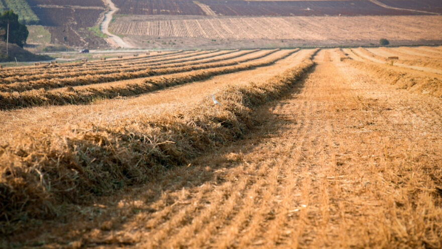 Collecting hay piles for bales in central Israel. Aug. 20, 2018. Photo by Anat Hermony/Flash90.