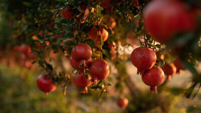Pomegranates in Kfar Achim on Sept. 8, 2019. Photo by Mila Aviv/Flash90.