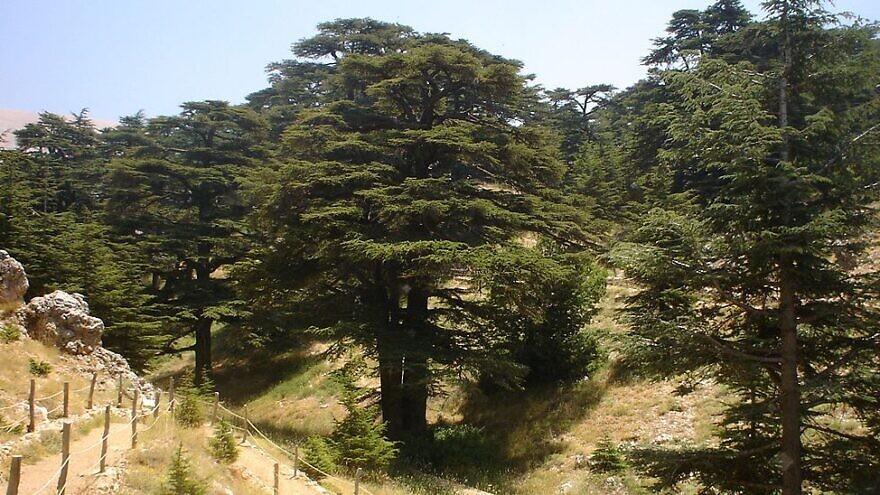 A cedar forest in El-Arz, Bsharri, Lebanon, Dec. 1, 2006. Credit: Wikimedia Commons.
