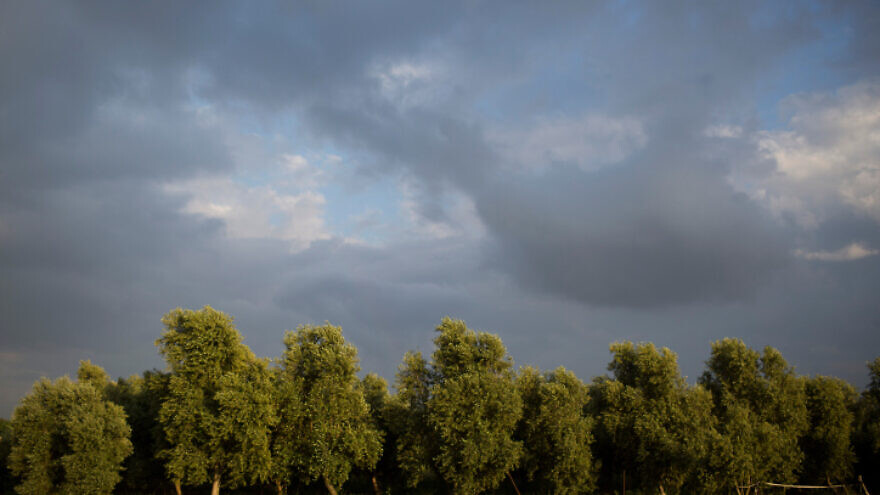 Olive trees in Kfar Baruch, a moshav in northern Israel, April 14, 2017. Photo by Lior Mizrahi/Flash90.